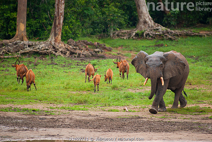 African Forest elephant (Loxodonta africana cyclotis) entering bai whilst group of Bongo antelope (Tragelaphus euryceros) leave, Dzanga Bai, Dzanga-Ndoki National Park, Central African Republic, AFRICA,ANTELOPES,BRUCE DAVIDSON,CAR,CENTRAL AFRICAN REPUBLIC,CENTRAL AFRICA,CLEARING,ELEPHANTIDAE,ELEPHANTS,ENDANGERED,GROUPS,MAMMALS,MIXED SPECIES,NATIONAL PARK,NP,PROBOSCIDS,RESERVE,VERTEBRATES, Jabruson