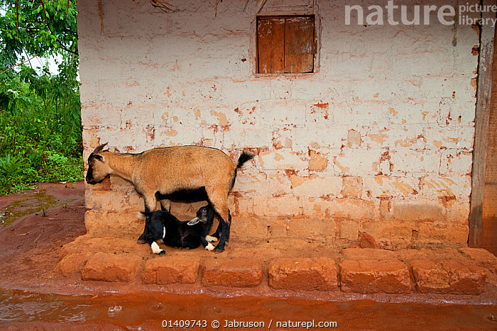 African domestic goat female with suckling kid, sheltering under the eves of a village house in wet season, Boukoko village, Central African Republic, AFRICA,ARTIODACTYLA,BABIES,BOVIDAE,BRUCE DAVIDSON,BUILDINGS,CAR,CENTRAL AFRICAN REPUBLIC,CENTRAL AFRICA,FEEDING,GOATS,HOMES,JUVENILE,LIVESTOCK,MAMMALS,MOTHER AND YOUNG,NURSING,RAIN,SHELTERING,VERTEBRATES,VILLAGES,WET SEASON,YOUNG, Jabruson