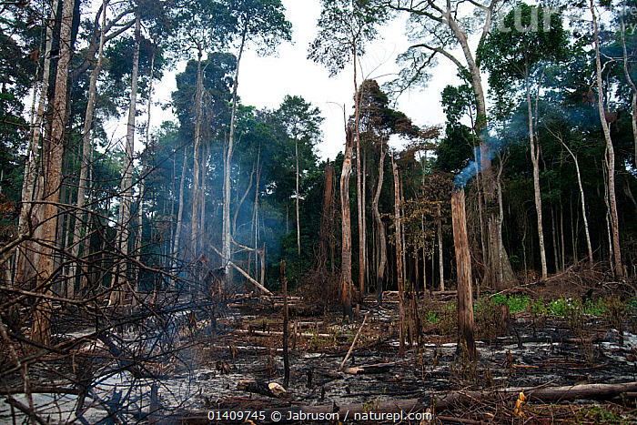 Slash and burn agricultural activity outside the town of Bayanga, ironically where headquarters for Dzanga-Ndoki National Park is located, Southern Central African Republic, March 2012.  Forest clearance at the end of the dry season preparing fields in time to harvest during the 'wet' season., AFRICA,BRUCE DAVIDSON,BURNING,CAR,CENTRAL AFRICAN REPUBLIC,CENTRAL AFRICA,CLEARANCE,DEFORESTATION,DESTRUCTION,FIRE,LANDSCAPES,NATIONAL PARK,NP,RAINFOREST,SMOKE,SMOKING,TREES,TROPICAL RAINFOREST,PLANTS, Jabruson