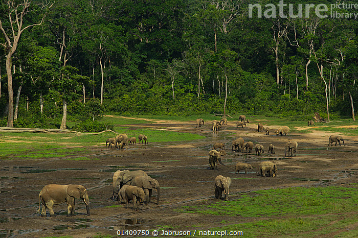 African Forest elephants (Loxodonta africana cyclotis), visiting Dzanga Bai, Dzanga-Ndoki National Park, Central African Republic, AFRICA,BEHAVIOUR,BRUCE DAVIDSON,CAR,CENTRAL AFRICAN REPUBLIC,CENTRAL AFRICA,CLEARING,DRINKING,ELEPHANTIDAE,ELEPHANTS,ENDANGERED,FAMILIES,FRESHWATER,GROUPS,HERDS,LANDSCAPES,MAMMALS,NATIONAL PARK,NP,PROBOSCIDS,RESERVE,TREES,TROPICAL RAINFOREST,VERTEBRATES,WATER,PLANTS, Jabruson