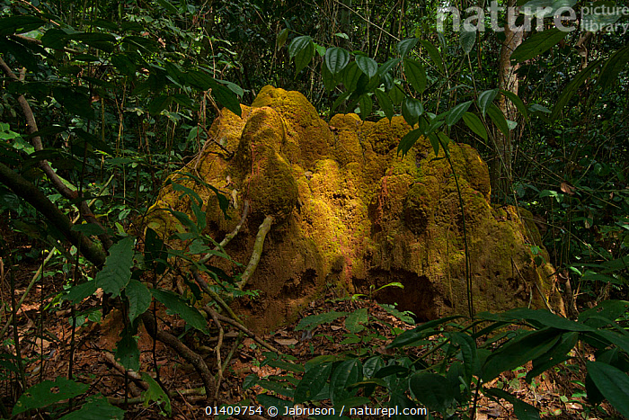 Termite (Macrotermes) mound located in forest interior, Bai Hokou, Dzanga-Ndoki National Park, Central African Republic, AFRICA,ARTHROPODS,BRUCE DAVIDSON,CAR,CENTRAL AFRICAN REPUBLIC,CENTRAL AFRICA,FORESTS,HOMES,INSECTS,INTERIOR,INVERTEBRATES,ISOPTERA,MOUNDS,NATIONAL PARK,NESTS,NP,RESERVE,TERMITES,TROPICAL,TROPICAL RAINFOREST,TROPICS,VEGETATION, Jabruson