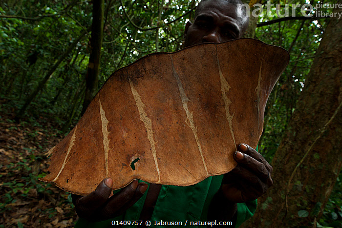Giant seed pod held in human hands, Bai Hokou, Dzanga-Ndoki National Park, Central African Republic., AFRICA,BRUCE DAVIDSON,CAR,CENTRAL AFRICAN REPUBLIC,CENTRAL AFRICA,CRYPTIC,LARGE,NATIONAL PARK,NP,PEOPLE,PODS,RESERVE,SEED POD,SEEDS,SIZE,TROPICAL,TROPICAL RAINFOREST, Jabruson