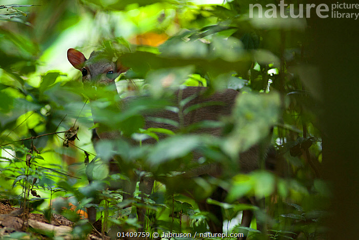Male Blue Duiker (Cephalophus / Philontomba monticola) searching for fallen forest fruit. Bai Hokou, Dzanga-Ndoki National Park, Central African Republic., AFRICA,ARTIODACTYLA,BOVIDAE,BRUCE DAVIDSON,CAR,CENTRAL AFRICAN REPUBLIC,CENTRAL AFRICA,DUIKERS,MAMMALS,NATIONAL PARK,NP,PHILANTOMBA MONTICOLA,RESERVE,TROPICAL RAINFOREST,TROPICAL RAINFORESTS,VERTEBRATES, Jabruson