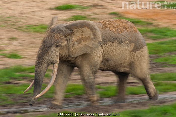 African Forest elephant (Loxodonta africana cyclotis) bull walking across Dzanga Bai. Elephants visit the forest clearings to obtain valuable minerals located at certain points within the clearing's water points. Dzanga-Ndoki National Park, Central African Republic, AFRICA,BLURRED,BRUCE DAVIDSON,CAR,CENTRAL AFRICAN REPUBLIC,CENTRAL AFRICA,ELEPHANTIDAE,ELEPHANTS,ENDANGERED,MALES,MAMMALS,MOTION,MOVEMENT,MOVING,NATIONAL PARK,NP,PROBOSCIDS,PROFILE,RESERVE,TUSKS,VERTEBRATES , Bruce Davidson, Jabruson