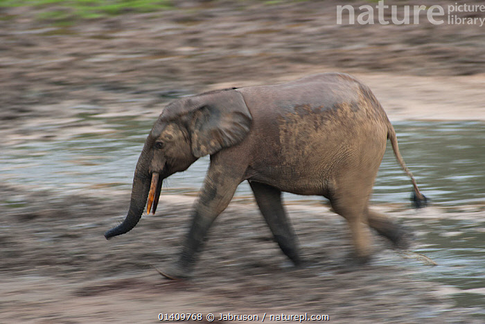 African Forest elephant (Loxodonta africana cyclotis) walking across Dzanga Bai, elephants visit the forest clearings to obtain valuable minerals located at certain points within the clearing's water points. Dzanga-Ndoki National Park, Central African Republic, AFRICA,BLURRED,BRUCE DAVIDSON,CAR,CENTRAL AFRICAN REPUBLIC,CENTRAL AFRICA,ELEPHANTIDAE,ELEPHANTS,ENDANGERED,MAMMALS,MOTION,MOVEMENT,MOVING,NATIONAL PARK,NP,PROBOSCIDS,PROFILE,RESERVE,VERTEBRATES,WALKING , Bruce Davidson, Jabruson