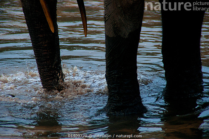 African Forest elephant (Loxodonta africana cyclotis) adult blowing air into mineral-rich sediment hole in stream flowing through forest clearing, Dzanga-Ndoki National Park, Central African Republic, AFRICA,BEHAVIOUR,BRUCE DAVIDSON,BUBBLES,CAR,CENTRAL AFRICAN REPUBLIC,CENTRAL AFRICA,CLOSE UPS,ELEPHANTIDAE,ELEPHANTS,ENDANGERED,FEEDING,FRESHWATER,LEGS,MAMMALS,MINERALS,NATIONAL PARK,NP,PROBOSCIDS,RESERVE,SURFACE,VERTEBRATES,WATER, Jabruson
