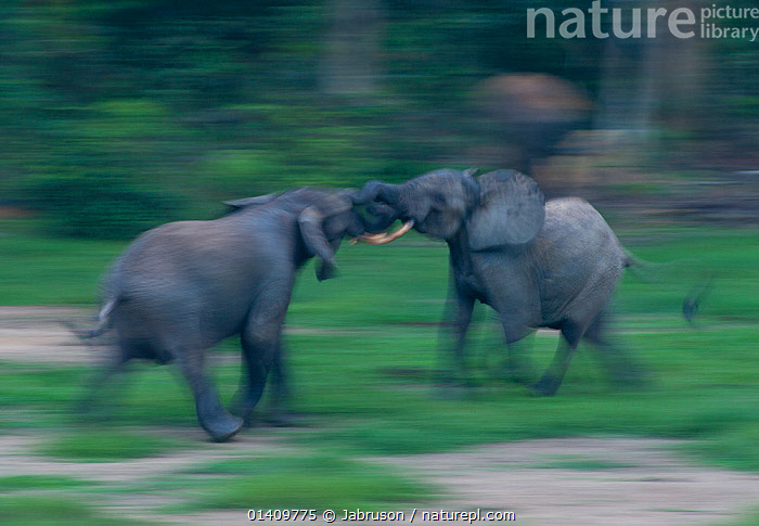 African Forest elephant (Loxodonta africana cyclotis) bulls sparing, blurred motion, Dzanga-Ndoki National Park, Central African Republic  ,  AFRICA,AGGRESSION,BEHAVIOUR,Blurred,Bruce Davidson,bulls,car,central african republic,CENTRAL-AFRICA,competition,DOMINANCE,Elephantidae,ELEPHANTS,ENDANGERED,FIGHTING,MALES,MAMMALS,MATING-BEHAVIOUR,motion,MOVEMENT,national park,NP,PROBOSCIDS,RESERVE,sparring,VERTEBRATES high1314,LOXODONTA AFRICANA CYCLOTIS,Fighting,Headlock,Headlocks,Confusion,Tangled,Tangle,Tangles,Rivalry,Rival,Rivals,Two,Nobody,Africa,Central Africa,Central African Republic,Side View,Photographic Effect,Blurred Motion,Blurred Movement,Animal,Male Animal,Bull,Bulls,Animal Nose,Nose,Noses,Elephant Trunk,Elephant Trunks,Elephants Trunk,Elephants Trunks,Outdoors,Open Air,Outside,Day,Nature,Natural,Natural World,Wildlife,Wild,Animals In The Wild,Animal In The Wild,Wild Animal,Wild Animals,Boxing,Spar,Sparring,Spars,Animal Behaviour,Reserve,Behaviour,Protected area,National Park,Trunk,Two animals,Dzanga-Ndoki National Park  ,  Jabruson