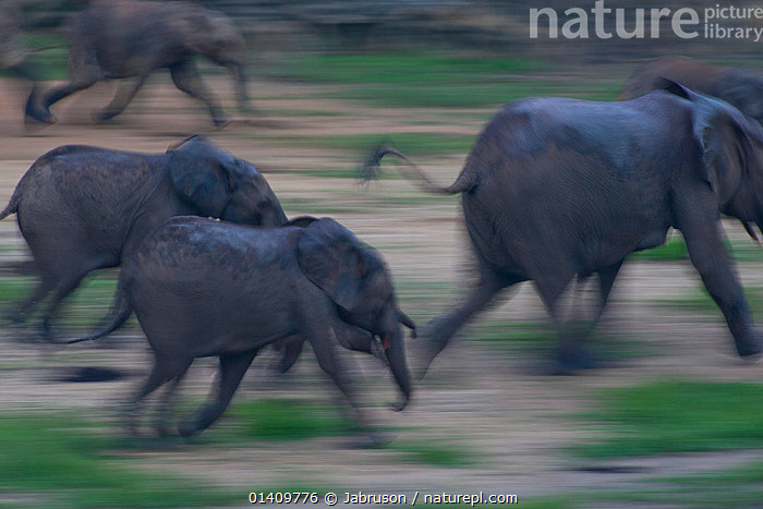 African Forest elephant (Loxodonta africana cyclotis) running across Dzanga Bai in early evening, Dzanga-Ndoki National Park, Central African Republic, ACTION,AFRICA,Blurred,Bruce Davidson,car,central african republic,CENTRAL-AFRICA,Elephantidae,ELEPHANTS,ENDANGERED,FAMILIES,GROUPS,Herds,MAMMALS,motion,MOVEMENT,moving,national park,NP,PROBOSCIDS,PROFILE,RESERVE,RUNNING,SPEED,VERTEBRATES high1314,LOXODONTA AFRICANA CYCLOTIS,Running,Disorder,Disruption,Disturbance,Fear,On The Move,Speed,Urgency,Grey,Gray,Herds,Few,Four,Group,Nobody,Terrified,Terrify,Terror,Panic,Africa,Central Africa,Central African Republic,Photographic Effect,Blurred Motion,Blurred Movement,Outdoors,Open Air,Outside,Day,Reserve,Protected area,National Park,Four animals,Moving,Dzanga-Ndoki National Park,Dzanga Bai,Hurrying, Jabruson