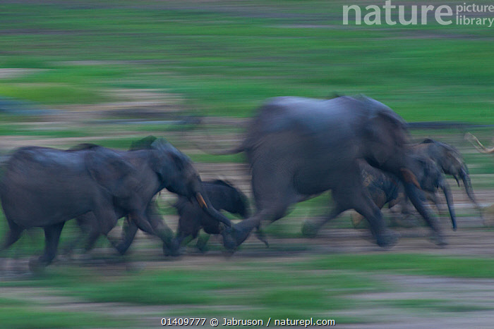 African Forest elephant (Loxodonta africana cyclotis) families running across Dzanga Bai in early evening, Dzanga-Ndoki National Park, Central African Republic, ACTION,AFRICA,BABIES,BLURRED,BRUCE DAVIDSON,CAR,CENTRAL AFRICAN REPUBLIC,CENTRAL AFRICA,ELEPHANTIDAE,ELEPHANTS,ENDANGERED,FAMILIES,FEMALES,GROUPS,HERDS,JUVENILE,MAMMALS,MOTHER AND YOUNG,MOTION,MOVEMENT,MOVING,NATIONAL PARK,NP,PROBOSCIDS,PROFILE,RESERVE,RUNNING,SPEED,VERTEBRATES,YOUNG , Bruce Davidson, Jabruson