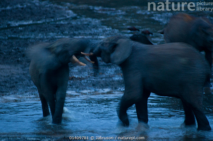 African Forest elephant (Loxodonta africana cyclotis) bulls sparring in poor evening light.  Elephants visit the forest clearings to obtain valuable minerals located at certain points within the clearing's water points. Dzanga-Ndoki National Park, Central African Republic, ACTION,AFRICA,BEHAVIOUR,BLURRED,BRUCE DAVIDSON,CAR,CENTRAL AFRICAN REPUBLIC,CENTRAL AFRICA,COMPETITION,DOMINANCE,ELEPHANTIDAE,ELEPHANTS,ENDANGERED,FIGHTING,MALES,MAMMALS,MOTION,MOVEMENT,NATIONAL PARK,NP,PROBOSCIDS,RESERVE,SPARRING,VERTEBRATES,WATER,Aggression , Bruce Davidson, Jabruson