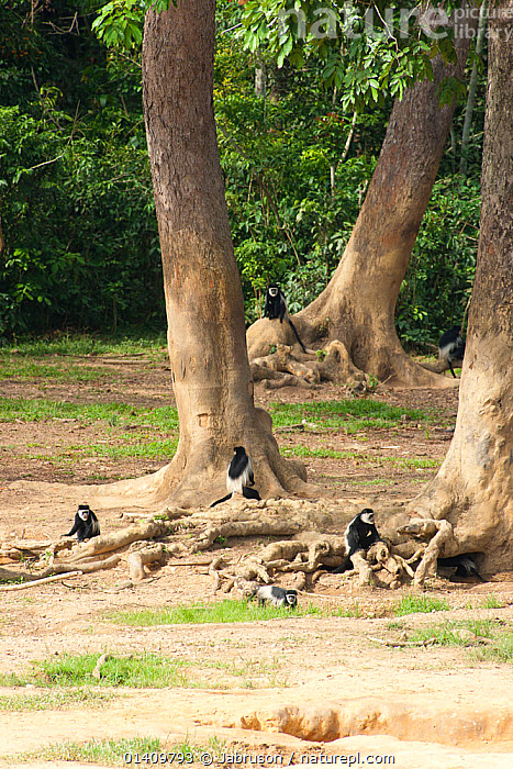 Black and white colobus (Colobus guereza) visiting rainforest clearing. Like many forest species, these primates visit these forest clearings in order to partake of minerals exposed by elephants excavating beneath forest tree root systems. Dzanga-Ndoki National Park, Central African Republic, AFRICA,BEHAVIOUR,BRUCE DAVIDSON,CAR,CENTRAL AFRICAN REPUBLIC,CENTRAL AFRICA,CERCOPITHECIDAE,CLEARING,COLOBUS MONKEYS,FAMILIES,FEEDING,GROUPS,MAMMALS,MINERALS,MONKEYS,NATIONAL PARK,NP,PLANTS,PRIMATES,RESERVE,ROOTS,TREES,VERTEBRATES,VERTICAL, Jabruson