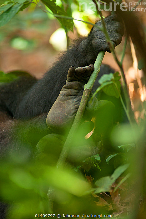 Western lowland gorilla (Gorilla gorilla gorilla) black-back male 'Kunga' hand and foot detail, partly obscured by vegetation, Bai Hokou, Dzanga-Ndoki National Park, Central African Republic, AFRICA,BRUCE DAVIDSON,CAR,CENTRAL AFRICAN REPUBLIC,CENTRAL AFRICA,CRYPTIC,ENDANGERED,FEET,GREAT APES,HANDS,HOMINIDAE,LEAVES,MALES,MAMMALS,NATIONAL PARK,NP,PRIMATES,RESERVE,VEGETATION,VERTEBRATES,VERTICAL, Jabruson