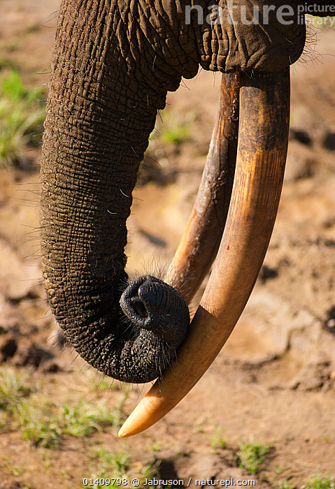 African Forest elephant (Loxodonta africana cyclotis) close up of bull's trunk and tusks, Dzanga-Ndoki National Park, Central African Republic, AFRICA,BRUCE DAVIDSON,CAR,CENTRAL AFRICAN REPUBLIC,CENTRAL AFRICA,CLOSE UPS,ELEPHANTIDAE,ELEPHANTS,ENDANGERED,MAMMALS,NATIONAL PARK,NP,PROBOSCIDS,RESERVE,TRUNKS,TUSKS,VERTEBRATES,VERTICAL, Jabruson
