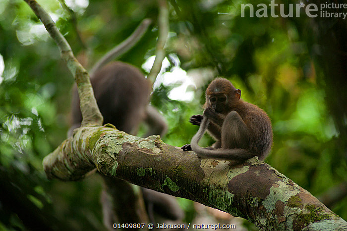 Agile mangabey (Cercocebus agilis) grooming his tail. Bai Hokou, Dzanga-Ndoki National Park, Central African Republic, AFRICA,BRUCE DAVIDSON,CAR,CENTRAL AFRICAN REPUBLIC,CENTRAL AFRICA,CERCOCEBUS,JUVENILE,MAMMALS,MONKEYS,NATIONAL PARK,NP,PRIMATES,RESERVE,TAILS,TROPICAL RAINFOREST,VERTEBRATES,YOUNG,YOUNGSTER, Jabruson