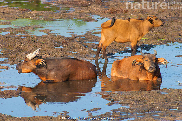 Forest buffalos (Syncerus caffer nanus) bull, cow and calf resting in muddy stream in bai clearing, Dzanga-Ndoki National Park, Central African Republic, AFRICA,ARTIODACTYLA,BABIES,BOVIDAE,BRUCE DAVIDSON,BUFFALOS,CALVES,CAR,CENTRAL AFRICAN REPUBLIC,CENTRAL AFRICA,FAMILIES,FEMALES,FRESHWATER,GROUND,GROUPS,JUVENILE,MALES,MAMMALS,MUD,NATIONAL PARK,NP,RELAXING,RESERVE,RESTING,STREAMS,THREE,VERTEBRATES,WALLOWING,WATER,YOUNG,Cattle, Jabruson
