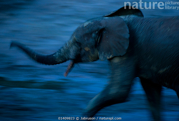 African Forest elephant (Loxodonta africana cyclotis) subadult scenting air, blurred motion at dusk, Dzanga Bai, Dzanga-Ndoki National Park, Central African Republic, AFRICA,BEHAVIOUR,BLURRED,BRUCE DAVIDSON,CAR,CENTRAL AFRICAN REPUBLIC,CENTRAL AFRICA,COMMUNICATION,DUSK,ELEPHANTIDAE,ELEPHANTS,ENDANGERED,EVENING,LOW LIGHT,MAMMALS,MOTION,MOVEMENT,MOVING,NATIONAL PARK,NP,PROBOSCIDS,PROFILE,RESERVE,SCENTING,SMELLING,SUBADULT,VERTEBRATES , Bruce Davidson, Jabruson