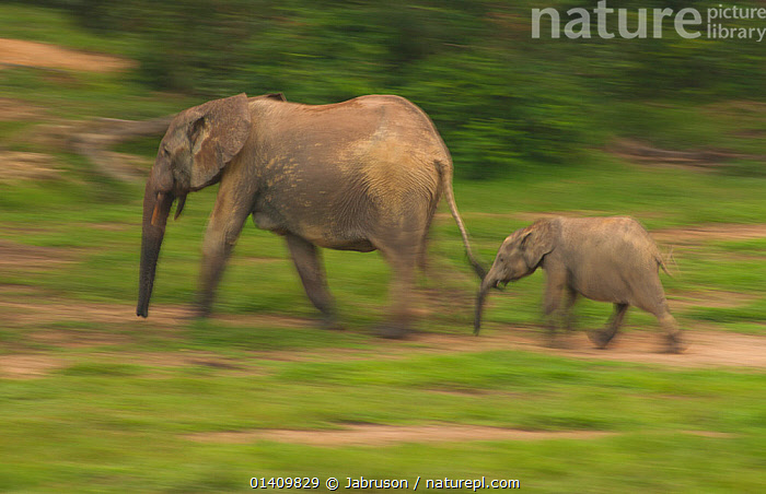 African Forest elephant (Loxodonta africana cyclotis) calf following mother, blurred motion as they visit Dzanga Bai in the early evening, Dzanga-Ndoki National Park, Central African Republic, AFRICA,BABIES,BLURRED,BRUCE DAVIDSON,CALVES,CAR,CENTRAL AFRICAN REPUBLIC,CENTRAL AFRICA,ELEPHANTIDAE,ELEPHANTS,ENDANGERED,FEMALES,FOLLOWING,JUVENILE,MAMMALS,MOTHER AND YOUNG,MOTION,MOVEMENT,MOVING,NATIONAL PARK,NP,PROBOSCIDS,PROFILE,RESERVE,VERTEBRATES,WALKING,YOUNG , Bruce Davidson, Jabruson