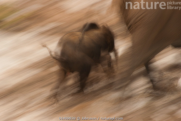 African Forest elephant (Loxodonta africana cyclotis) calf following mother, blurred motion as they visit Dzanga Bai in the early evening, Dzanga-Ndoki National Park, Central African Republic, ACTION,AFRICA,ARTY SHOTS,BABIES,BLURRED,BRUCE DAVIDSON,CALVES,CAR,CENTRAL AFRICAN REPUBLIC,CENTRAL AFRICA,CUTE,ELEPHANTIDAE,ELEPHANTS,ENDANGERED,FEMALES,FOLLOWING,JUVENILE,MAMMALS,MOTHER AND YOUNG,MOTION,MOVING,NATIONAL PARK,NP,PROBOSCIDS,RESERVE,RUNNING,SPEED,TINY,VERTEBRATES,WALKING,YOUNG , Bruce Davidson, Jabruson