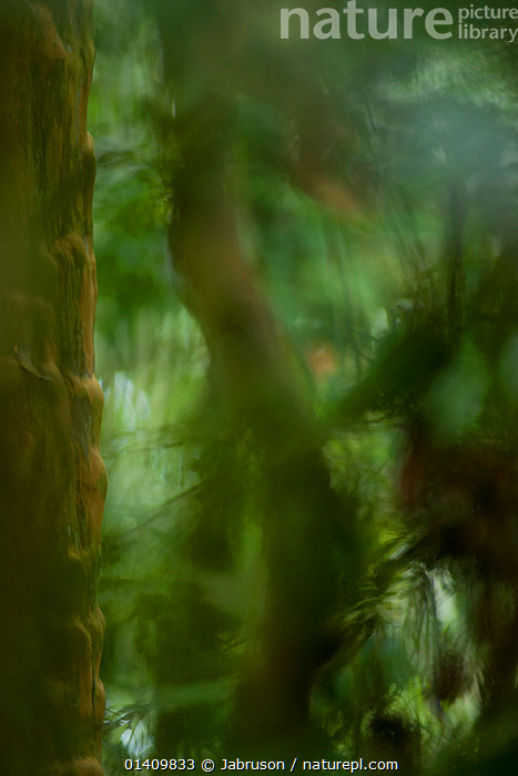 Soft focus moody forest scenic near Bai Hokou research camp, Dzanga-Ndoki National Park, Central African Republic., ABSTRACT,AFRICA,ARTY SHOTS,ATMOSPHERIC,BLURRED,BRUCE DAVIDSON,CAR,CENTRAL AFRICAN REPUBLIC,CENTRAL AFRICA,FORESTS,HABITAT,LEAVES,NATIONAL PARK,NP,PLANTS,RESERVE,SOFT FOCUS,TREES,TROPICAL,TROPICAL RAINFOREST,VEGETATION,VERTICAL, Jabruson
