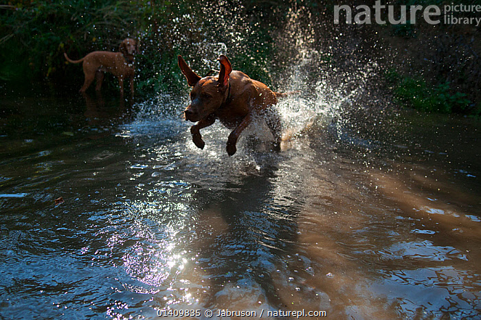 Hungarian Vizsla dog running across stream, another in background, ACTION,BREEDS,BRUCE DAVIDSON,CANIDAE,CAR,DOGS,DOMESTIC,DOMESTICATED,HUNTING DOGS,MEDIUM DOGS,OUTDOORS,PETS,RUNNING,SHORT HAIRED,SPLASHING,SPORTING DOGS,STREAMS,VERTEBRATES,WATER,Canids, Jabruson