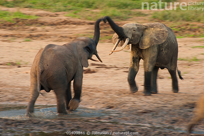 African Forest elephant (Loxodonta africana cyclotis) two bulls sparring, competition for access to valuable minerals located at certain points within the clearing's water points, Dzanga-Ndoki National Park, Central African Republic, AFRICA,BEHAVIOUR,BRUCE DAVIDSON,CAR,CENTRAL AFRICAN REPUBLIC,CENTRAL AFRICA,COMPETITION,DOMINANCE,ELEPHANTIDAE,ELEPHANTS,ENDANGERED,GREETING,INTERACTION,MALES,MAMMALS,NATIONAL PARK,NP,PROBOSCIDS,RESERVE,SOCIAL BEHAVIOUR,SPARRING,TERRITORIAL,VERTEBRATES, Jabruson