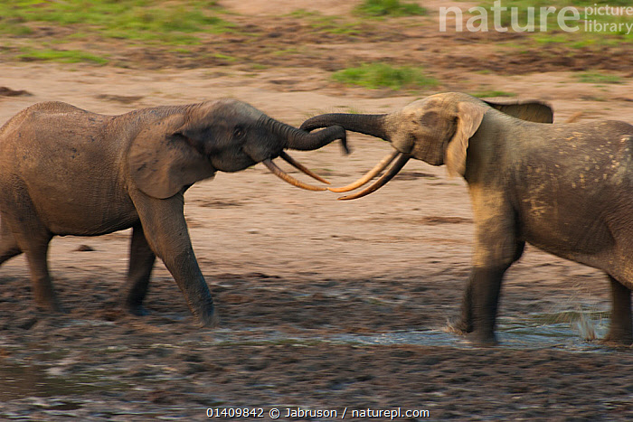 African Forest elephant (Loxodonta africana cyclotis) two bulls sparring, competition for access to valuable minerals located at certain points within the clearing's water points, Dzanga-Ndoki National Park, Central African Republic, ACTION,AFRICA,BEHAVIOUR,BLURRED,BRUCE DAVIDSON,CAR,CENTRAL AFRICAN REPUBLIC,CENTRAL AFRICA,COMPETITION,DOMINANCE,ELEPHANTIDAE,ELEPHANTS,ENDANGERED,INTERACTION,MALES,MAMMALS,MOTION,MOVEMENT,NATIONAL PARK,NP,PROBOSCIDS,RESERVE,SOCIAL BEHAVIOUR,SPARRING,TERRITORIAL,VERTEBRATES , Bruce Davidson, Jabruson