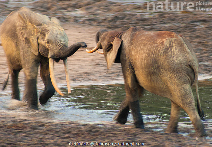 African Forest elephant (Loxodonta africana cyclotis) two bulls sparring, competition for access to valuable minerals located at certain points within the clearing's water points, Dzanga-Ndoki National Park, Central African Republic, ACTION,AFRICA,BEHAVIOUR,Blurred,Bruce Davidson,car,central african republic,CENTRAL-AFRICA,competition,DOMINANCE,dust,Elephantidae,ELEPHANTS,ENDANGERED,INTERACTION,MALES,MAMMALS,motion,MOVEMENT,national park,NP,PROBOSCIDS,RESERVE,SOCIAL-BEHAVIOUR,sparring,TERRITORIAL,VERTEBRATES high1314,LOXODONTA AFRICANA CYCLOTIS,Approaching,Approach,Approaches,Approachs,Anticipation,Rivalry,Rival,Rivals,Face To Face,Face Each Other,Facing Each Other,Two,Nobody,Wet,Africa,Central Africa,Central African Republic,Full Length,Full Lengths,Whole,Animal,Animal Nose,Nose,Noses,Elephant Trunk,Elephant Trunks,Elephants Trunk,Elephants Trunks,Water Hole,Water Holes,Outdoors,Open Air,Outside,Day,Boxing,Spar,Sparring,Spars,Freshwater,Water,Animal Behaviour,Territorial,Aggression,Behaviour,Trunk,Two animals,Unfriendly,Dzanga-Ndoki National Park, Jabruson
