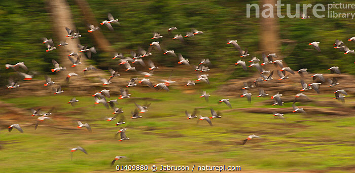 African Grey Parrots (Psittacus erithacus erithacus) large flock leaving Bai, they frequently use the forest clearings to feed on plants, Dzanga-Ndoki National Park, Central African Republic, ACTION,AFRICA,BIRDS,BLURRED,BRUCE DAVIDSON,CAR,CENTRAL AFRICAN REPUBLIC,CENTRAL AFRICA,ENDANGERED,FLIGHT,FLOCKS,FLYING,GROUPS,MOTION,NATIONAL PARK,NP,PANORAMIC,PARROTS,RESERVE,VERTEBRATES , Bruce Davidson, Jabruson