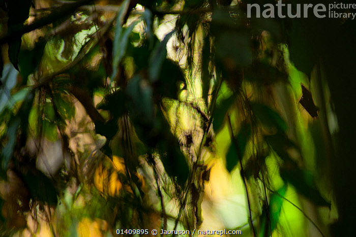 Tropical lowland rainforest soft-focus scenic of forest that is characterised as primarily a mixed species semi-deciduous forest. Bai Hokou research camp, Dzanga-Ndoki National Park, Central African Republic., AFRICA,ARTY SHOTS,ATMOSPHERIC,BRUCE DAVIDSON,CAR,CENTRAL AFRICAN REPUBLIC,CENTRAL AFRICA,HABITAT,INTERIOR,LEAVES,LOWLAND RAINFOREST,MOODY,NATIONAL PARK,NP,PLANTS,RESERVE,SOFT FOCUS,TROPICAL,TROPICAL RAINFOREST, Jabruson