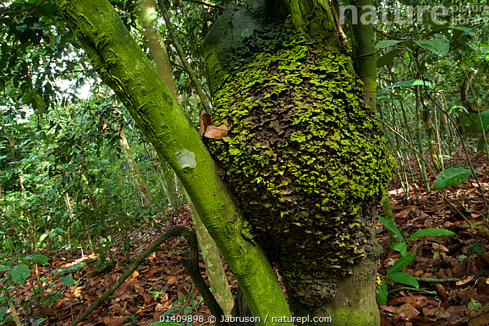 Persimmon 'Babango' tree (Diospyros bipindensis or ituriensis) with lichen covered Black ants nest, Bai Hokou, Dzanga-Ndoki National Park, Central African Republic., AFRICA,ANTS,BRUCE DAVIDSON,CAR,CENTRAL AFRICAN REPUBLIC,CENTRAL AFRICA,DICOTYLEDONS,HOMES,INSECTS,LICHEN,NATIONAL PARK,NESTS,NP,PLANTS,RESERVE,SAPOTACEAE,TREES,TROPICAL,TROPICAL RAINFOREST,Invertebrates, Jabruson