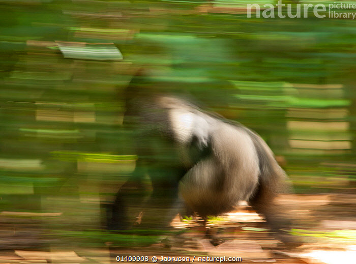 Western lowland gorilla (Gorilla gorilla gorilla) silverback 'Makumba' moving through the forest, blurred motion, he is the leader of the habituated gorilla family that goes by the same name, Bai Hokou, Dzanga-Ndoki National Park, Central African Republic., ACTION,AFRICA,ARTY SHOTS,BLURRED,BRUCE DAVIDSON,CAR,CENTRAL AFRICAN REPUBLIC,CENTRAL AFRICA,DOMINANT,ENDANGERED,GREAT APES,HOMINIDAE,MALES,MAMMALS,MOTION,MOVEMENT,MOVING,NATIONAL PARK,NP,PRIMATES,RESERVE,SILVERBACK,VERTEBRATES,WALKING , Bruce Davidson, Jabruson