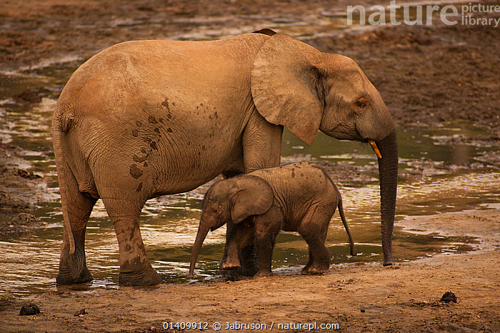 African Forest elephant (Loxodonta africana cyclotis) mother and calf visiting Dzanga Bai to feed on mineral-rich sediments, Dzanga-Ndoki National Park, Central African Republic, AFRICA,BABIES,BRUCE DAVIDSON,CALVES,CAR,CENTRAL AFRICAN REPUBLIC,CENTRAL AFRICA,ELEPHANTIDAE,ELEPHANTS,ENDANGERED,FEEDING,GROUND,JUVENILE,MAMMALS,MINERALS,MOTHER AND YOUNG,NATIONAL PARK,NP,PROBOSCIDS,RESERVE,SPRING,VERTEBRATES,WATER,YOUNG, Jabruson