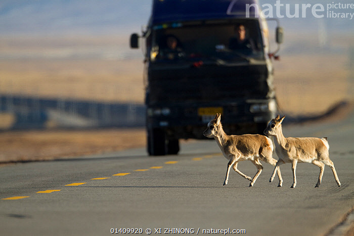 Tibetan antelope (Pantholops hodgsonii) crossing road infront of a truck, Kekexili, Qinghai, China, January, ARTIODACTYLA,ASIA,Bovidae,CHINA,CHIRUS,DANGEROUS,ENDANGERED,lorries,lorry,MAMMALS,ROADS,Tibetan Plateau,trucks,VEHICLES high1314,PANTHOLOPS HODGSONII,Animal,Vertebrate,Mammal,Bovid,Tibetan antelope,Chiru,Antelope,Animalia,Animal,Wildlife,Vertebrate,Mammalia,Mammal,Artiodactyla,Even-toed ungulates,Bovidae,Bovid,ruminantia,Ruminant,Patholops,Tibetan antelope,Pantholops hodgsonii,Chiru,Tibetan Antelope,Crossing,Crossing The Road,People,Male,Man,Only Men,One Man,Transport Occupation,Transport Occupations,Transportation Occupation,Driver,Drivers,Incidental People,Incidental Person,People In The Background,Background People,Background Person,People In Background,Person In Background,Danger,Threat,Menace,Menaces,Menacing,Threatening,Threats,Vulnerability,Vulnerable,Vunerability,Vunerable,Two,Nobody,1 Person,Single,Single Person,Dark,Darkness,Asia,East Asia,China,Diminishing Perspective,Full Length,Full Lengths,Whole,Side View,Road,Land Vehicle,Motor Vehicle,Truck,Lorries,Lorry,Trucks,Outdoors,Open Air,Outside,Day,Transportation,Antelope,Two animals,Dainty,Dividing Line,Kekexili,Endangered species,threatened,Endangered, XI ZHINONG