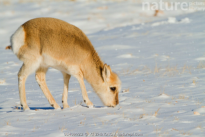 Tibetan gazelle (Procapra picticaudata) feeding from snow covered grass, Kekexili, Qinghai, Tibetan plateau, China, January, ANTELOPES,ANTILOPINAE,ARTIODACTYLA,ASIA,BOVIDAE,CHINA,FEEDING,MAMMALS,SNOW,TIBETAN PLATEAU,VERTEBRATES,WINTER, XI ZHINONG