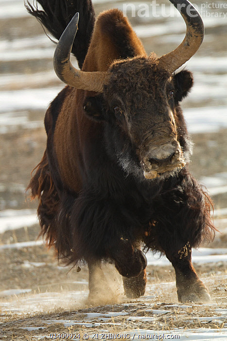 Wild yak (Bos mutus) running, Kekexili, Qinghai, Tibetan plateau, China, January, ARTIODACTYLA,ASIA,Bovidae,CATTLE,CHINA,MAMMALS,PORTRAITS,RUNNING,Tibetan Plateau,VERTEBRATES,VERTICAL high1314,BOS MUTUS,Animal,Vertebrate,Mammal,Bovid,Cattle,Wild Yak,Animalia,Animal,Wildlife,Vertebrate,Mammalia,Mammal,Artiodactyla,Even-toed ungulates,Bovidae,Bovid,ruminantia,Ruminant,Bos,Cattle,Bos mutus,Wild Yak,Yak,Running,Anxiety,Speed,Urgency,Colour,Brown,Horned,Asia,East Asia,China,Close Up,Front View,View From Front,Hair,Fur,Dust,Dusty,Outdoors,Open Air,Outside,Day,Horn,Hurrying,Brown Colour,Animal Hair,Kekexili, XI ZHINONG