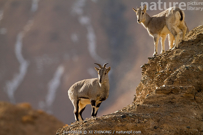 Blue Sheep (Pseudois nayaur) on hillside, Kekexili, Qinghai, China, January, ARTIODACTYLA,ASIA,Bovidae,CHINA,HABITAT,MAMMALS,MOUNTAINS,SHEEP,Tibetan Plateau,VERTEBRATES high1314,PSEUDOIS NAYAUR,Animal,Vertebrate,Mammal,Bovid,Bharal,Animalia,Animal,Wildlife,Vertebrate,Mammalia,Mammal,Artiodactyla,Even-toed ungulates,Bovidae,Bovid,ruminantia,Ruminant,Pseudois,Pseudois nayaur,Bharal,Blue Sheep,Himalyan blue sheep,Standing,Glance,Glances,Glancing,Look Away,Looks Away,Confusion,Dilemma,Dilemmas,Indecisive,Grey,Gray,Face To Face,Face Each Other,Facing Each Other,Two,Nobody,Asia,East Asia,China,Full Length,Full Lengths,Whole,Side View,Mountain,Light,Lights,Sunlight,Rock,Outdoors,Open Air,Outside,Day,Nature,Natural,Natural World,Wild,Animals In The Wild,Animal In The Wild,Wild Animal,Wild Animals,Two animals,Direct Gaze,Precarious,Aware,Kekexili, XI ZHINONG