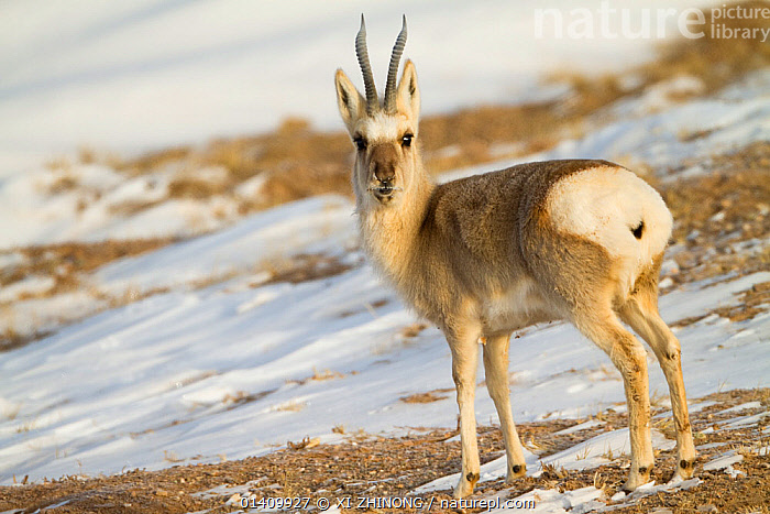 Tibetan gazelle (Procapra picticaudata) on mountainside, Kekexili, Qinghai, Tibetan plateau, China, January, ANTELOPES,ANTILOPINAE,ARTIODACTYLA,ASIA,Bovidae,CHINA,MAMMALS,PORTRAITS,SNOW,Tibetan Plateau,VERTEBRATES,WINTER high1314,PROCAPRA PICTICAUDATA,Animal,Vertebrate,Mammal,Bovid,Goa,Antelope,Animalia,Animal,Wildlife,Vertebrate,Mammalia,Mammal,Artiodactyla,Even-toed ungulates,Bovidae,Bovid,ruminantia,Ruminant,Procapra,Procapra picticaudata,Goa,Tibetan Gazelle,Standing,Caution,Cautious,Colour,Brown,Nobody,Asia,East Asia,China,Full Length,Full Lengths,Whole,Hair,Fur,Mountain,Snow,Outdoors,Open Air,Outside,Winter,Day,Nature,Natural,Natural World,Wild,Animals In The Wild,Animal In The Wild,Wild Animal,Wild Animals,Antelope,Direct Gaze,Aware,Questioning,Brown Colour,Animal Hair,Kekexili, XI ZHINONG