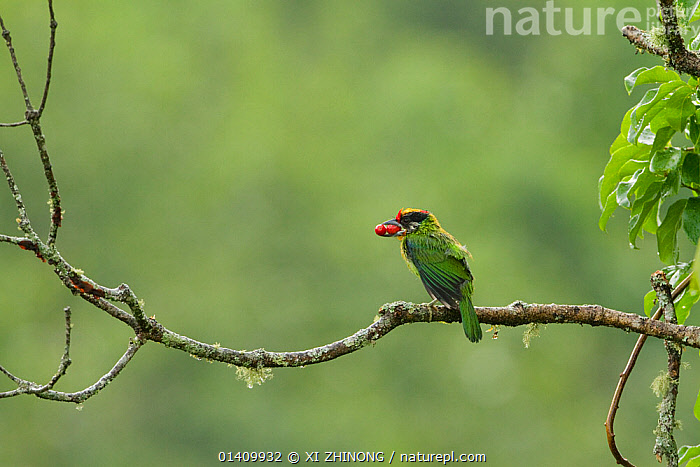 Golden-throated Barbet (Megalaima franklinii) perched on branch, with berries in its beak, Galligong Mountain, Yunnan China, May, ASIA,BARBETS,BERRIES,BIRDS,CHINA,COPYSPACE,FEEDING,PICIFORMES,VERTEBRATES, XI ZHINONG