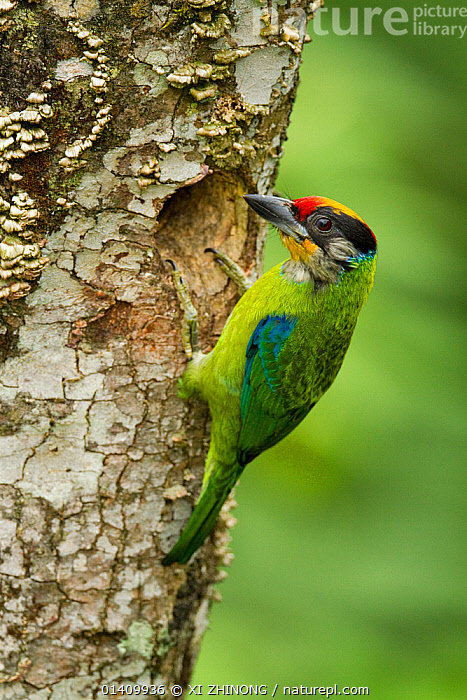 Golden-throated Barbet (Megalaima franklinii) at nest hole, Galligong Mountain, Yunnan, China, May, ASIA,BARBETS,BIRDS,CHINA,COLOURFUL,NESTS,PICIFORMES,VERTEBRATES,VERTICAL, XI ZHINONG