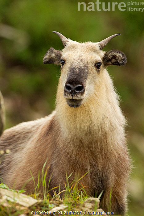 Takin (Budorcas taxicolor) portrait, Tangjiahe, Sichuan, China, July, ARTIODACTYLA,ASIA,Bovidae,CHINA,GOATS,MAMMALS,PORTRAITS,SOUTH-EAST-ASIA,VERTEBRATES,VERTICAL high1314,BUDORCAS TAXICOLOR,Standing,Friendship,Nobody,Asia,East Asia,China,Close Up,Front View,View From Front,Animal,Hair,Fur,Outdoors,Open Air,Outside,Day,Nature,Natural,Natural World,Wildlife,Wild,Sichuan Province,Direct Gaze,Sichuan,Questioning,Animal Hair, XI ZHINONG