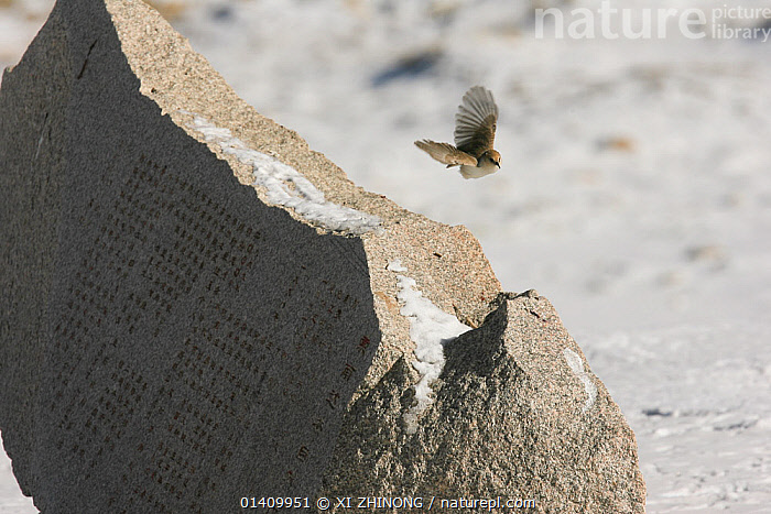Hume's Groundpecker (Pseudopodoces humilis) flying by an engraved stone monument about the founding of Suonan Dajie Nature Reserve Station, Kekexili, Qinghai, Tibetan Plateau, China, Decemeber, ASIA,BIRDS,CHINA,MONUMENTS,PARIDAE,RESERVE,SIGNS,SNOW,SONGBIRDS,STONES,TIBETAN PLATEAU,TITS,VERTEBRATES,WINTER, XI ZHINONG