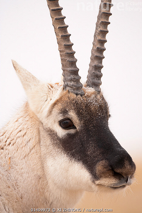 Tibetan antelope (Pantholops hodgsonii) male, portrait, Kekexili, Qinghai, China, November., ARTIODACTYLA,ASIA,Bovidae,CHINA,CHIRUS,CLOSE UPS,ENDANGERED,FACES,HEADS,HORNS,MALES,MAMMALS,PORTRAITS,Tibetan Plateau, XI ZHINONG