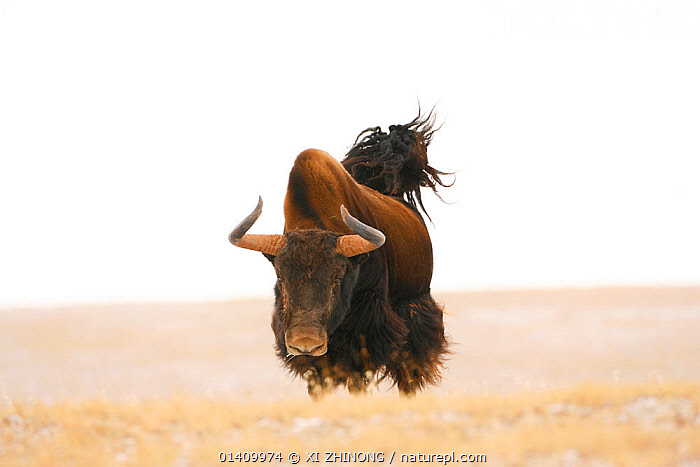 Wild yak (Bos mutus) charging, Kekexili, Qinghai, China, November., ARTIODACTYLA,ASIA,BEHAVIOUR,Bovidae,CATTLE,CHINA,MAMMALS,PORTRAITS,RUNNING,Tibetan Plateau,VERTEBRATES, XI ZHINONG