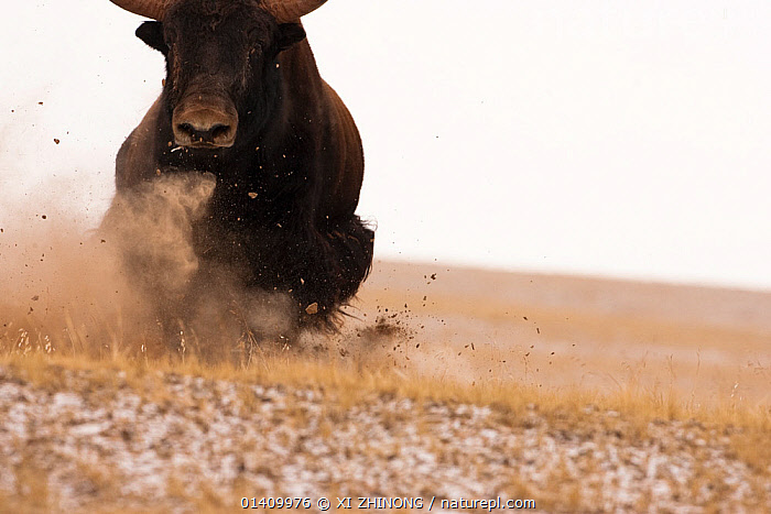 Wild yak (Bos mutus) charging and kicking up dust, Kekexili, Qinghai, China, November., ARTIODACTYLA,ASIA,BEHAVIOUR,Bovidae,CATTLE,CHINA,copyspace,MAMMALS,RUNNING,Tibetan Plateau,VERTEBRATES,Catalogue5, XI ZHINONG