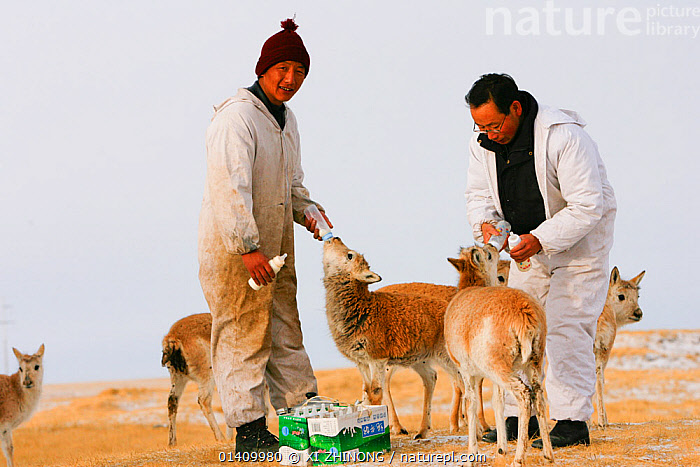 Tibetan antelope (Pantholops hodgsonii) calfs, being fed by staff of Suonan Dajie Nature Reserve Station who are raising them, Qinghai, Tibetan Plateau, China, November, ADULT,ARTIODACTYLA,ASIA,ASIAN ETHNICITY,BABIES,BOVIDAE,CHINA,CHIRUS,CONSERVATION,ENDANGERED,FEEDING,MAMMALS,MAN,MEN,MILK,PEOPLE,REHABILITATION,TIBETAN PLATEAU,TWO,WORK CLOTHES, XI ZHINONG