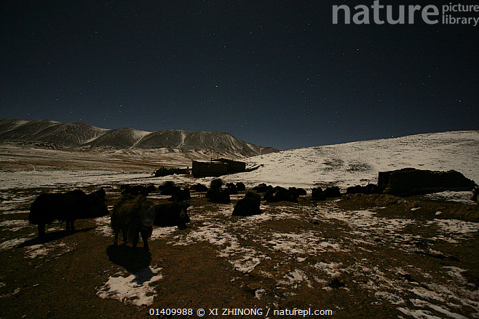 Wild yak (Bos mutus) herd at night in snowy landscape, Qinghai, Tibetan plateau, China, November, ARTIODACTYLA,ASIA,Bovidae,CATTLE,CHINA,HABITAT,Herds,LANDSCAPES,MAMMALS,NIGHT,SNOW,STARS,Tibetan Plateau,VERTEBRATES, XI ZHINONG