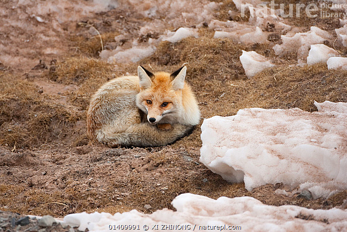 Red fox (Vulpes vulpes) resting amongst snow, Sanjiangyuan, Qinghai, China, December, ASIA,Canidae,CANIDS,CARNIVORES,CHINA,FOXES,ICE,MAMMALS,resting,SNOW,Tibetan Plateau,VERTEBRATES,WINTER,Dogs, XI ZHINONG