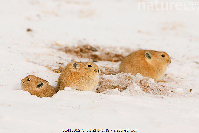 Tibetan pika (Ochotona thibetana) group in the snow, Sanjiangyuan, Qinghai, China, Decemeber, ASIA,CHINA,GROUPS,Lagomorpha,MAMMALS,PIKAS,SNOW,Tibetan Plateau,VERTEBRATES,WINTER high1314,OCHOTONA THIBETANA,Animal,Vertebrate,Mammal,Lagomorph,Pika,Pikas,Moupin pika,Animalia,Animal,Wildlife,Vertebrate,Mammalia,Mammal,Lagomorpha,Lagomorph,Ochotonida,Pika,Ochotona,Pikas,Waiting,Contrasts,Opposites,Cute,Adorable,Togetherness,Close,Together,Few,Three,Group,Nobody,Temperature,Cold,Asia,East Asia,China,Close Up,Hair,Fur,Snow,Outdoors,Open Air,Outside,Day,Animal Behaviour,Thermoregulation,Ruffled feathers,Puffed up,Behaviour,Three Animals,Qinghai Tibetan Plateau,Ochotona thibetana,Moupin pika,Animal Hair,Sanjiangyuan, XI ZHINONG