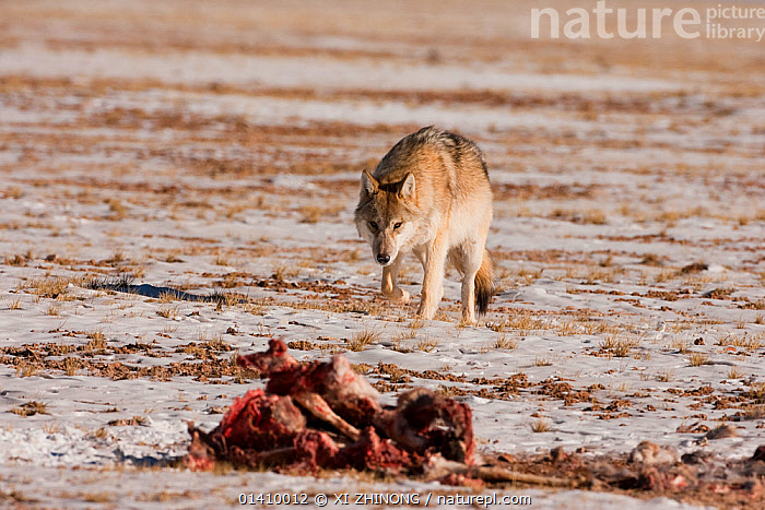 Grey wolf (Canis lupus) approaching a Tibetan antelope (Pantholops hodgsoni) carcass, Qinghai, China, December, antelope,ASIA,blood,Canidae,CANIDS,CARNIVORES,CHINA,DEATH,MAMMALS,SCAVENGING,SNOW,Tibetan Plateau,VERTEBRATES,WINTER,WOLVES,Dogs, XI ZHINONG