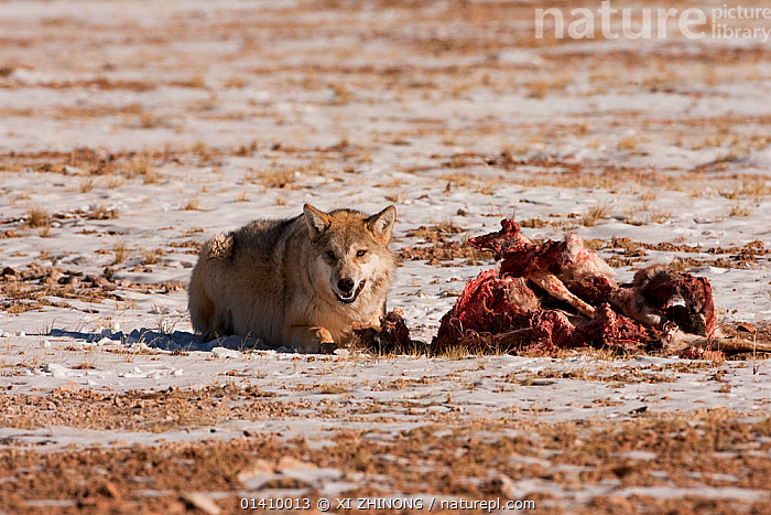 Grey wolf (Canis lupus) snarling, at a Tibetan antelope (Pantholops hodgsoni) carcass, Qinghai, China, December, antelope,ASIA,blood,Canidae,CANIDS,CARNIVORES,CHINA,DEATH,DEFENSIVE,MAMMALS,SCAVENGING,SNOW,Tibetan Plateau,VERTEBRATES,WINTER,WOLVES,Behaviour,Dogs, XI ZHINONG